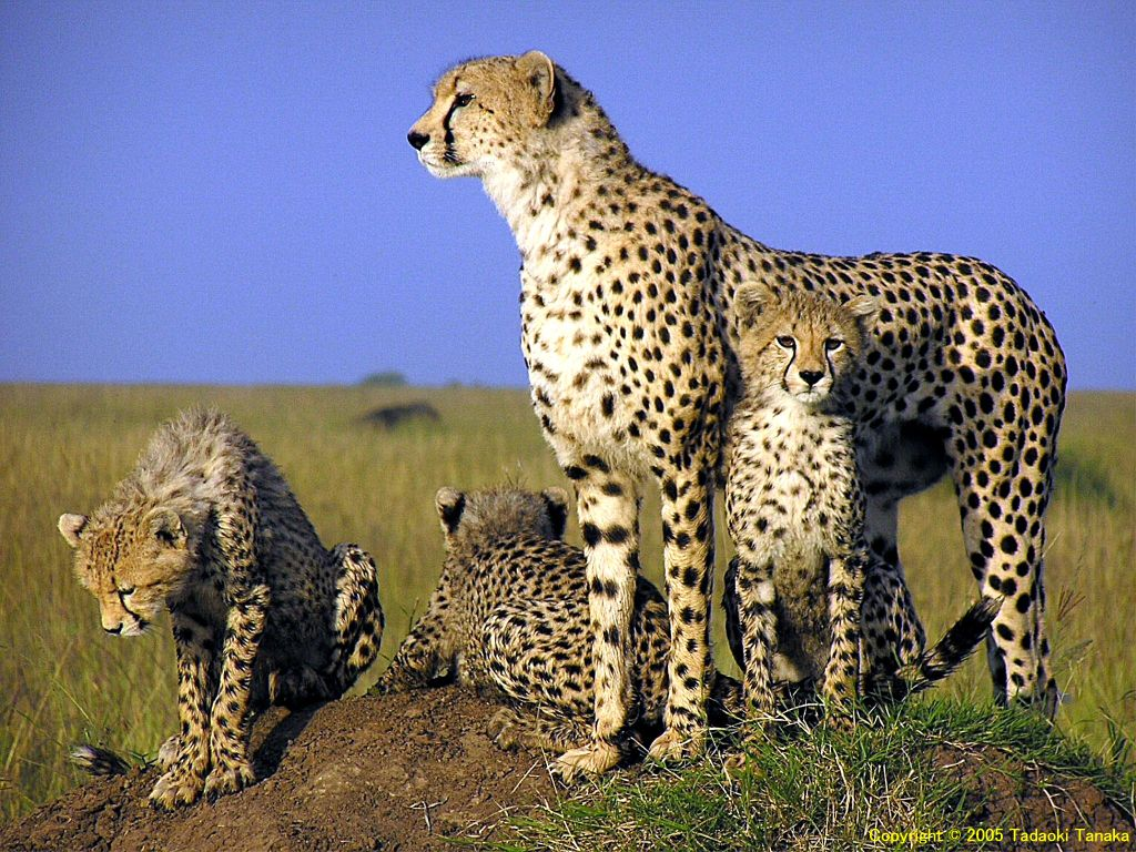 Animals Best Pictures Gallery: Cheetah Wallpaper Gallery
