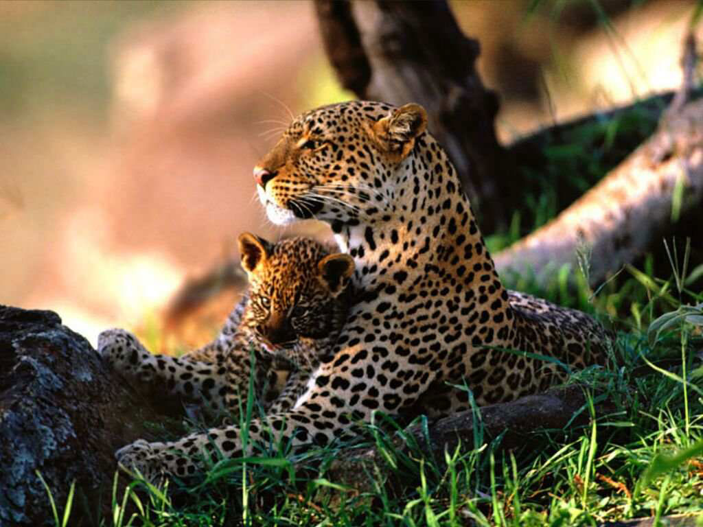 animals best pictures gallery  jaguar panthera pictures