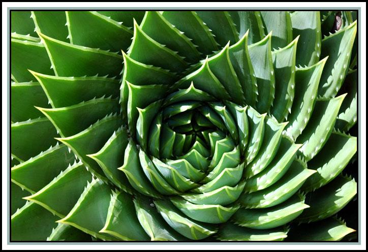 spiral+aloe.jpg