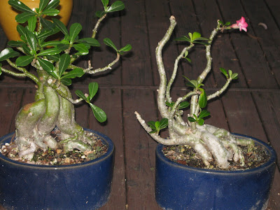 Mai Lan Cuc Truc: Bonsai Desert Rose - Sứ Thái-Lan
