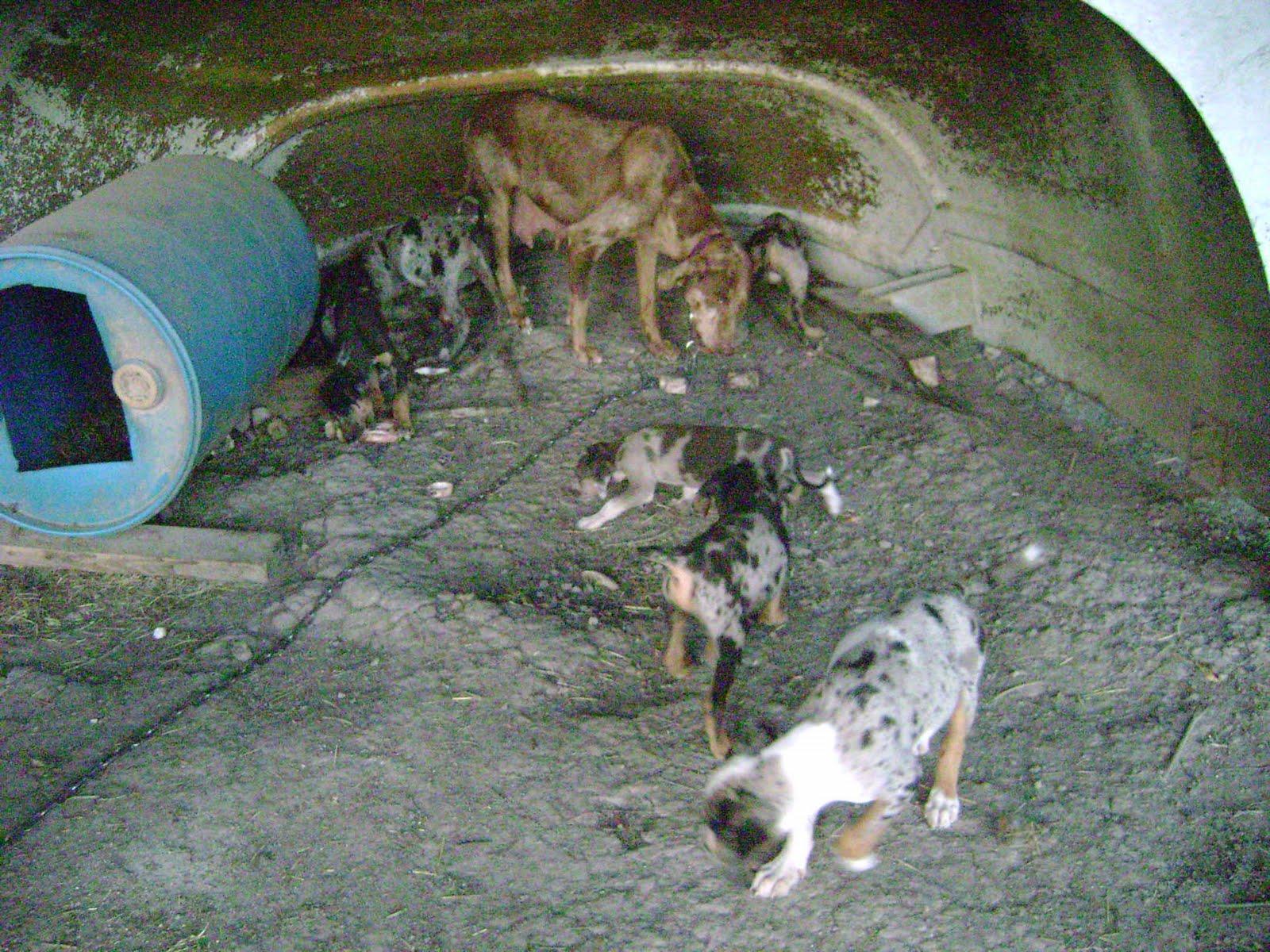 Catahoula Puppies: May 2010 - photo#22