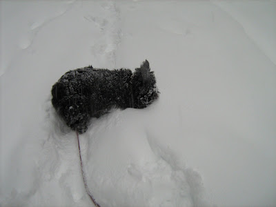 Scottie dog in snow