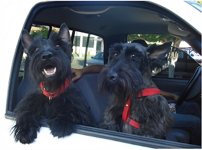 A pair of Scottish Terriers