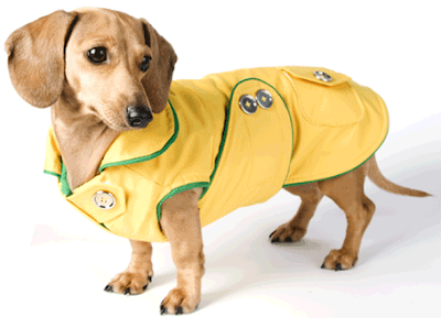 Yellow Dachshund raincoat