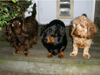 Smooth, long-haired and wire-haired Dachshunds