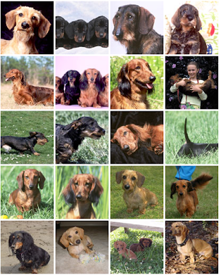 AKC Dachshund photo gallery