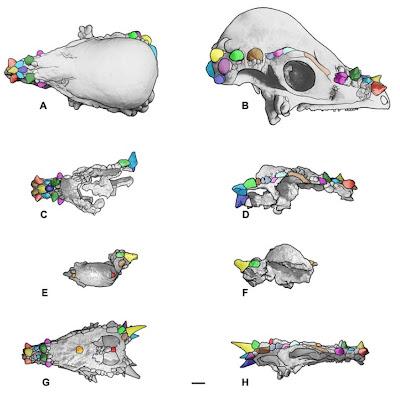 PALAEOBLOG: Dracorex and Stygimoloch = Juvenile ...