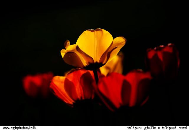 Fotografia in controluce di tulipano giallo tra tulipani rosso fuoco