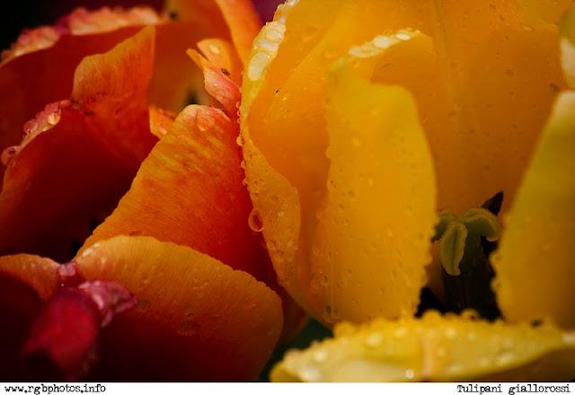 Fotografia di tulipani a colori gialli e rossi. Macchina fotografica Canon EOS 10D, ottica canon ef 70-300 stabilizzata