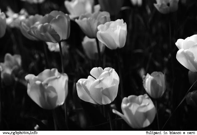 Fotografia in bianco e nero di prato di tulipani