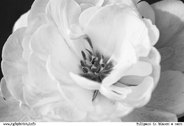 Fotografia in bianco e nero di un tulipano