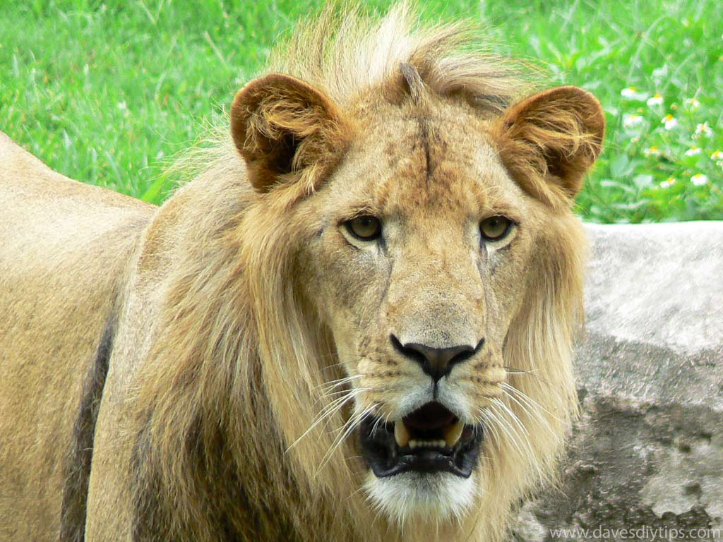 Calendar Wallpaper Windows : Beautiful lions wallpapers photos pictures free