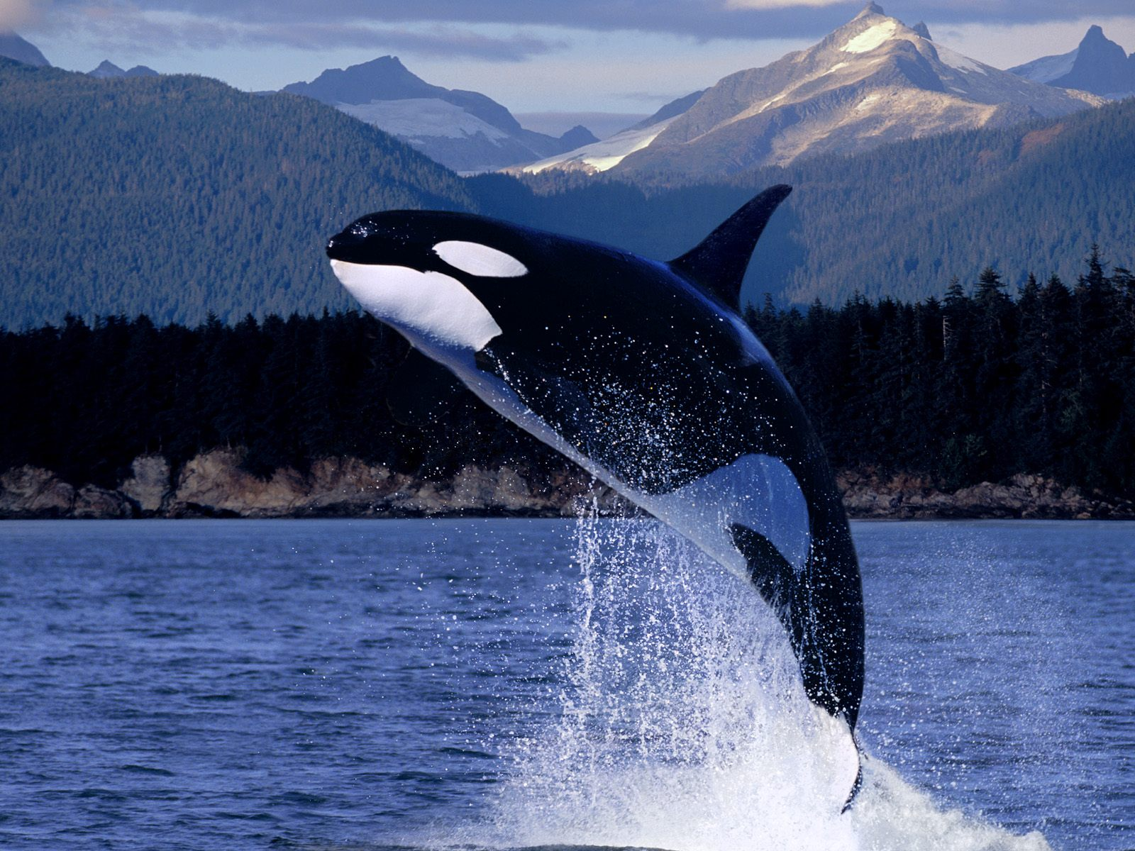 ocean animals animal biggest sea water whales background wallpapers desktop whale creatures killer orca largest creature oceans wildlife marine oceanic