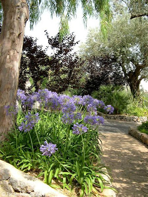 Agapanthus Blue Globe Lily Of The Nile