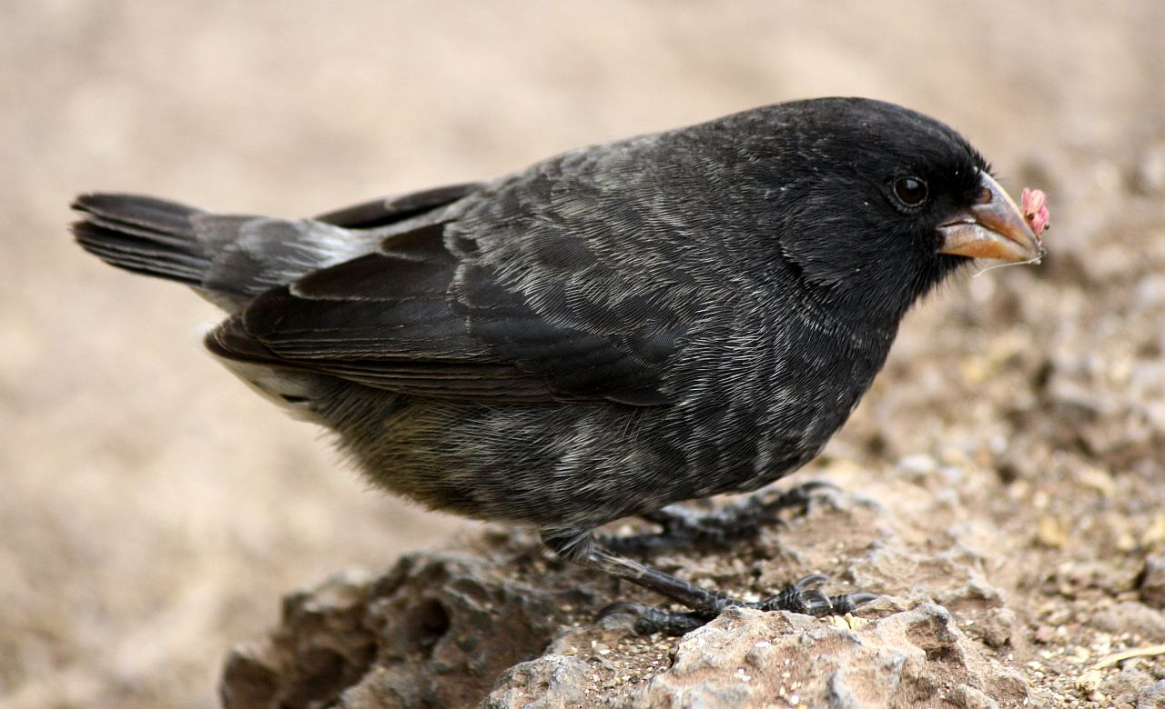 Jb S Big World My Feathered Friends The Darwin Finches