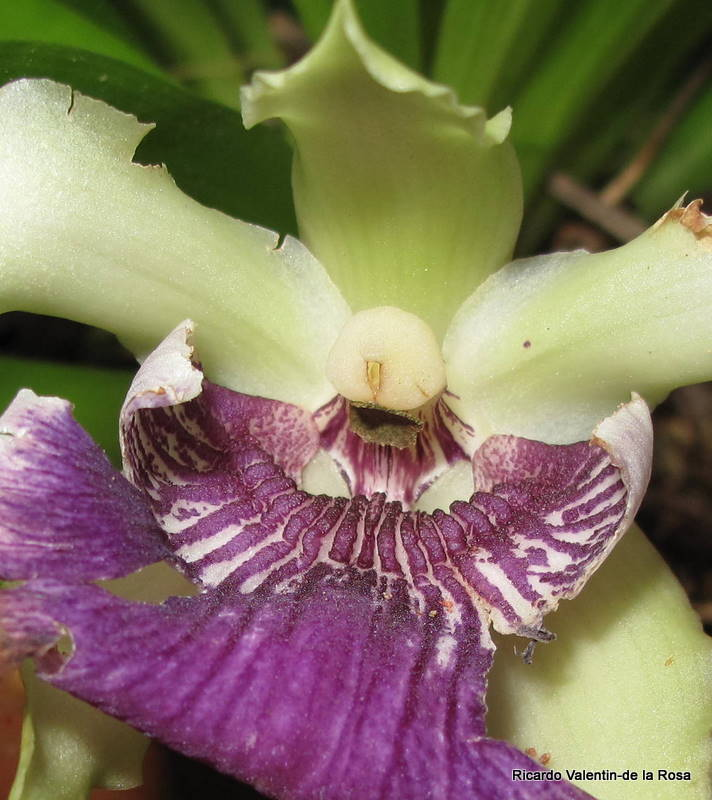 Ricardos Blog Cochleanthes Flabelliformis the Puerto Rican