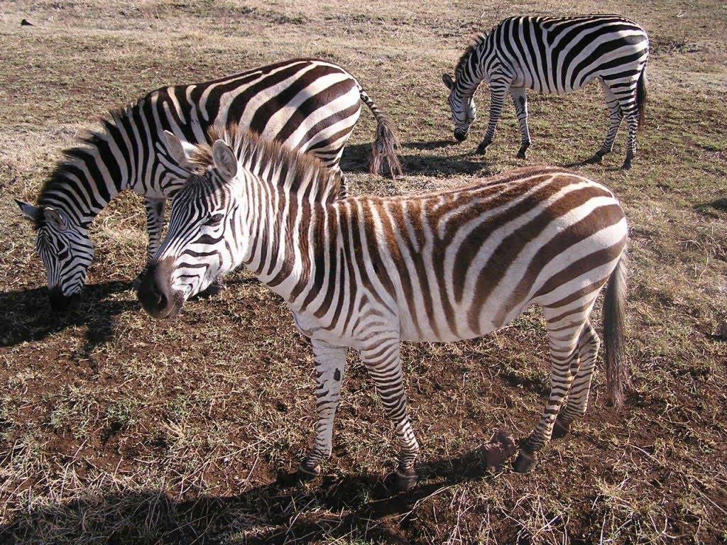 Chic Beautiful Life Zebra Addiction