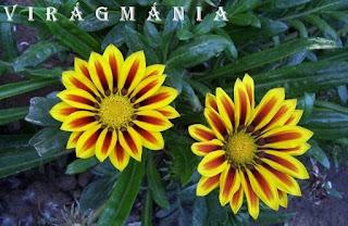 Virágmánia