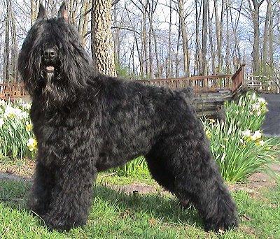 Bouvier Des Flandres Dog Breed » Everything About Bouvier ...  |Bouvier Dog