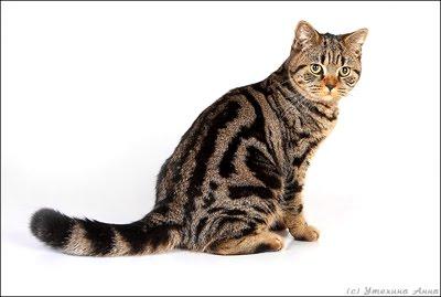 Полосатые породы кошек - названия, описание и фото — Природа Мира | 269x400