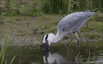 Heron_Eats_Rabbit_02.jpg