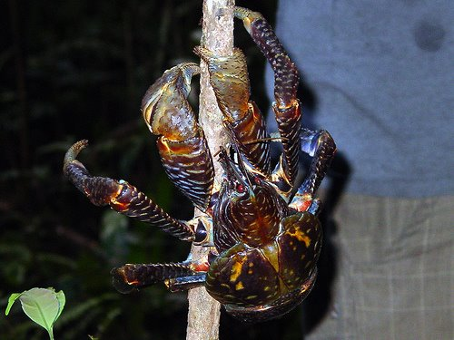 [giant_coconut_crab_01.jpg]