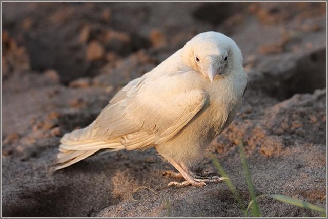 the white crow - photo #10