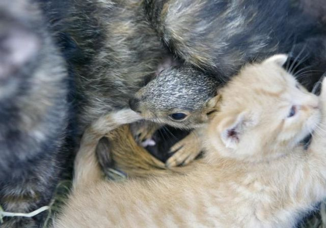 Mother Cat Adopts Squirrel Damn Cool Pictures