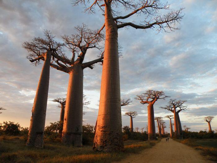 Rich Girl Wallpaper Baobab Tree Girl Tattoos Designs Gallery Baobab Tree