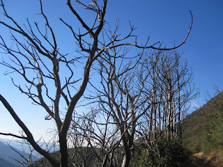 Burned Manzanita