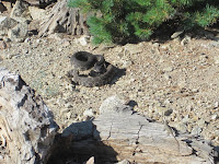 Rattlesnake on Ontario Peak Trail