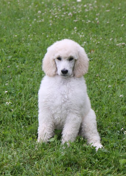 Greattakes: 6 Standard Poodle Puppies   for sale if you are interested!!