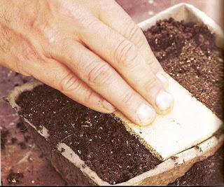 cómo cultivar rúcula facilmente