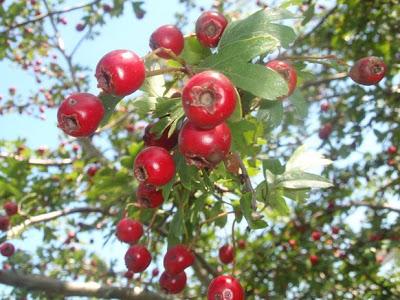 frutos del espino albar, crataegus o majuelo