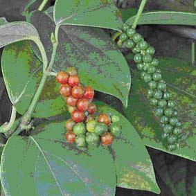Tanaman lada termasuk tanaman rempah yang banyak dikembangkan di Indonesia MEMBUDIDAYAKAN TANAMAN LADA