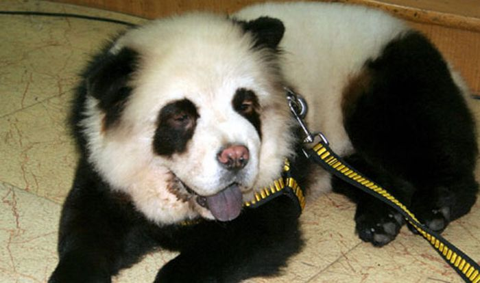 Hot Fresh Pics Panda Dogs And Tiger Dogs Are Popular In China