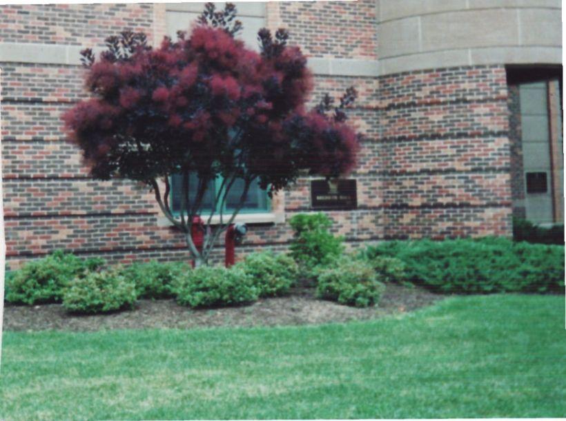 Future Plants By Randy Stewart Cotinus Smoketree