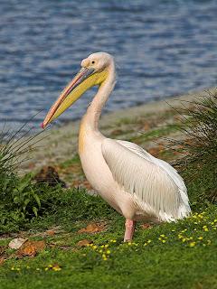 pelicano blanco Pelecanus onocrotalus