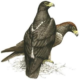 aquila cafre Aquila verreauxii