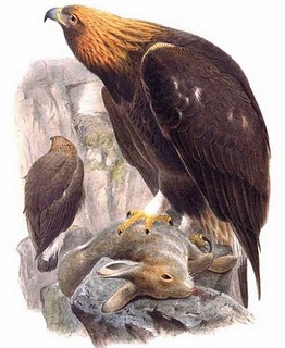 aguila real Aquila chrysaetos
