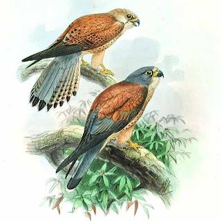 cernicalo primilla Falco naumani halcones de Europa, Asia y Africa