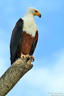 pigargo vocinglero Haliaeetus vocifer rapaces de Africa