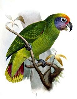 amazona cola roja Amazona brasiliensis