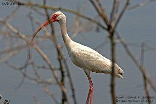 ibis blanco Eudocimus albus the family Ciconidae