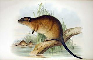 rata de agua australiana Hydromis chrysogaster