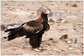 accipitriformes Águila audaz Aquila audax