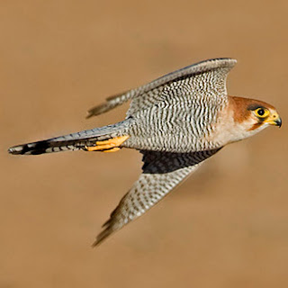 halcon de cuello rojo Falco chicquera