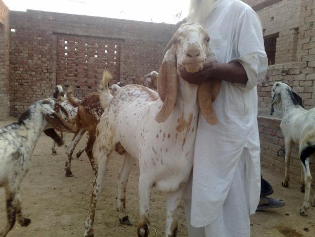Olx Karachi Animals