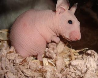 Naked hamster