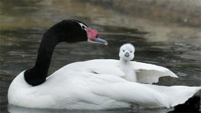 My Little Sanctuary: Swans
